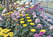 The Chrysanthemums Show